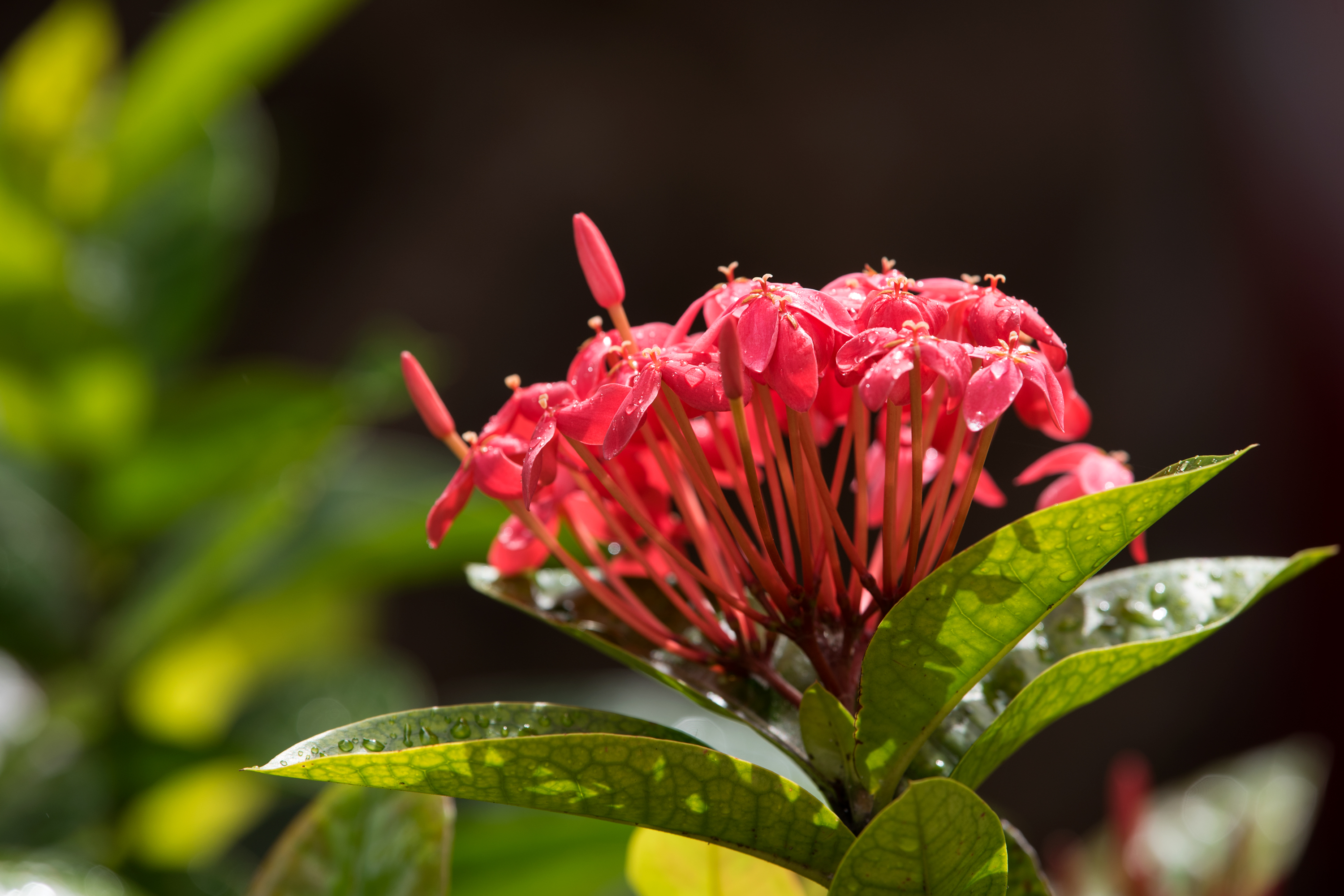 Ixora, after shower