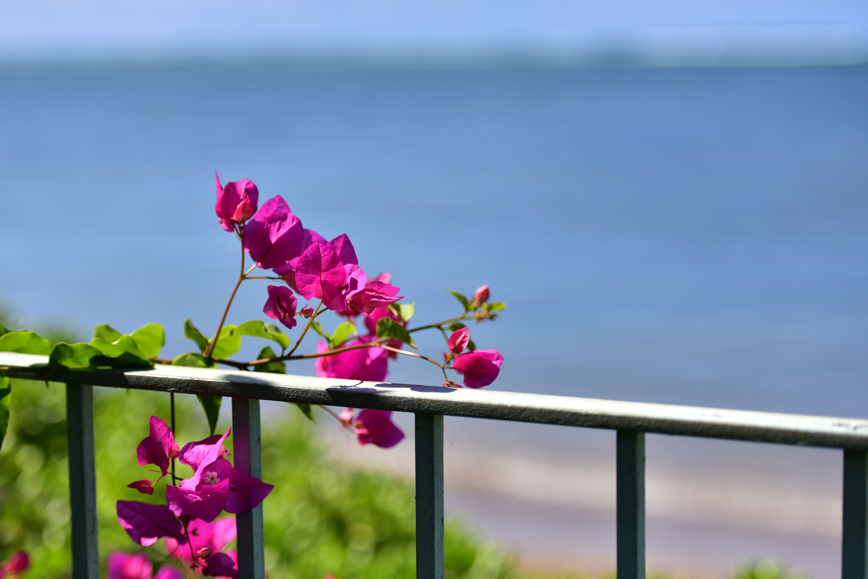 Bougainvillea at beach side