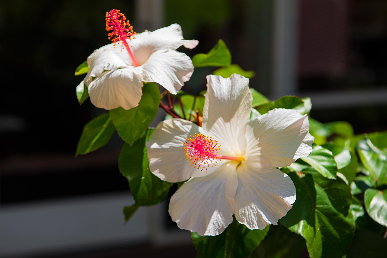 Kokio Keo Keo, Hawaiian Hibiscus