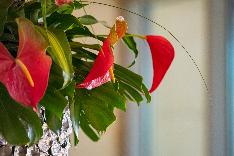 Anthurium's Red