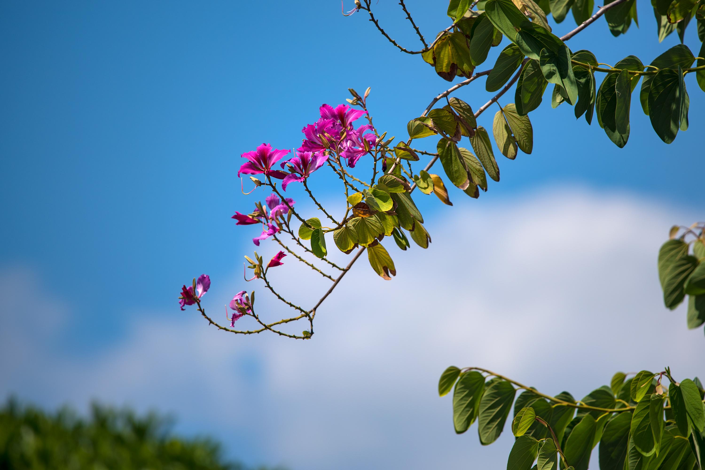 HongKong Orchid Tree