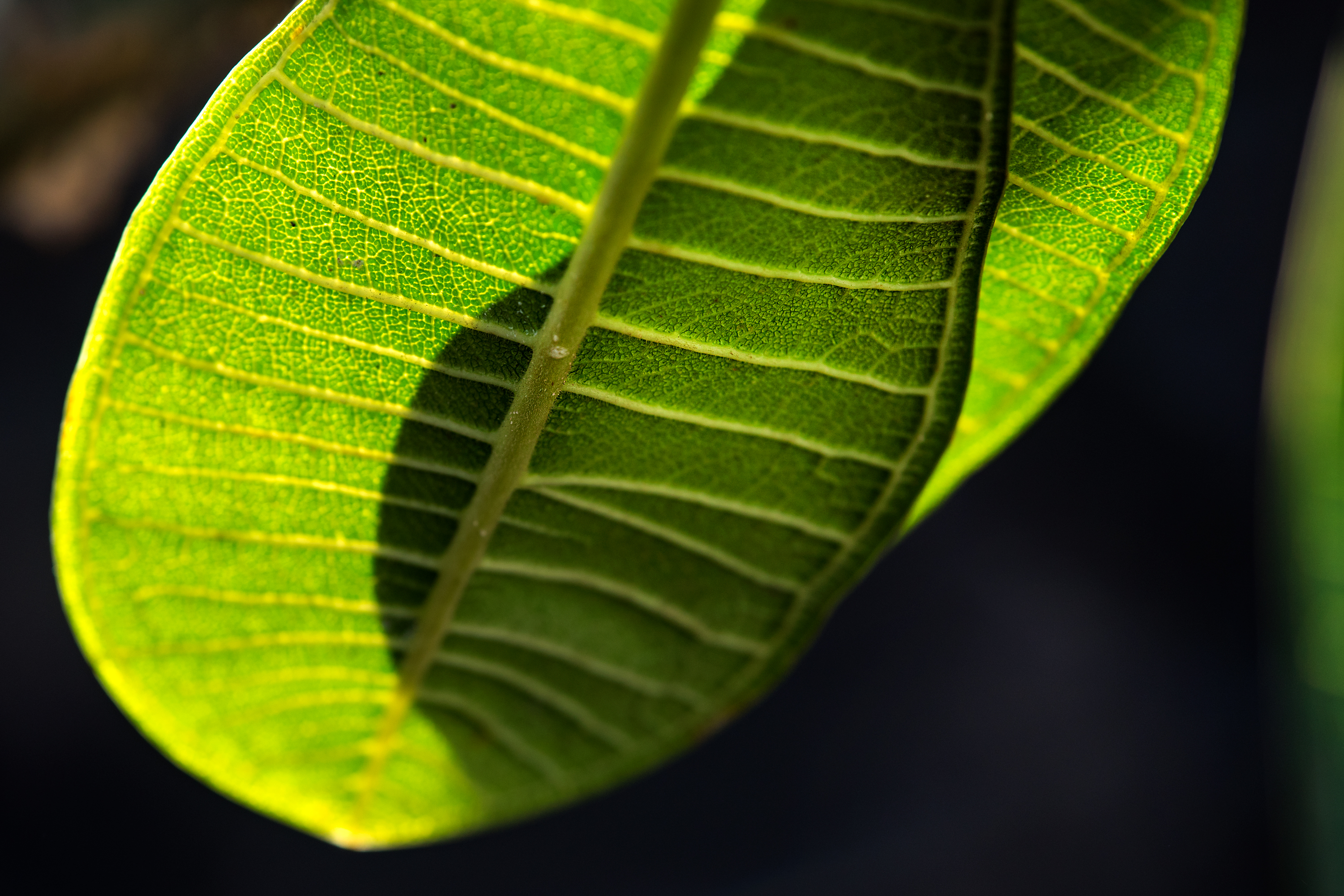 Veins of Plumeria Leaf