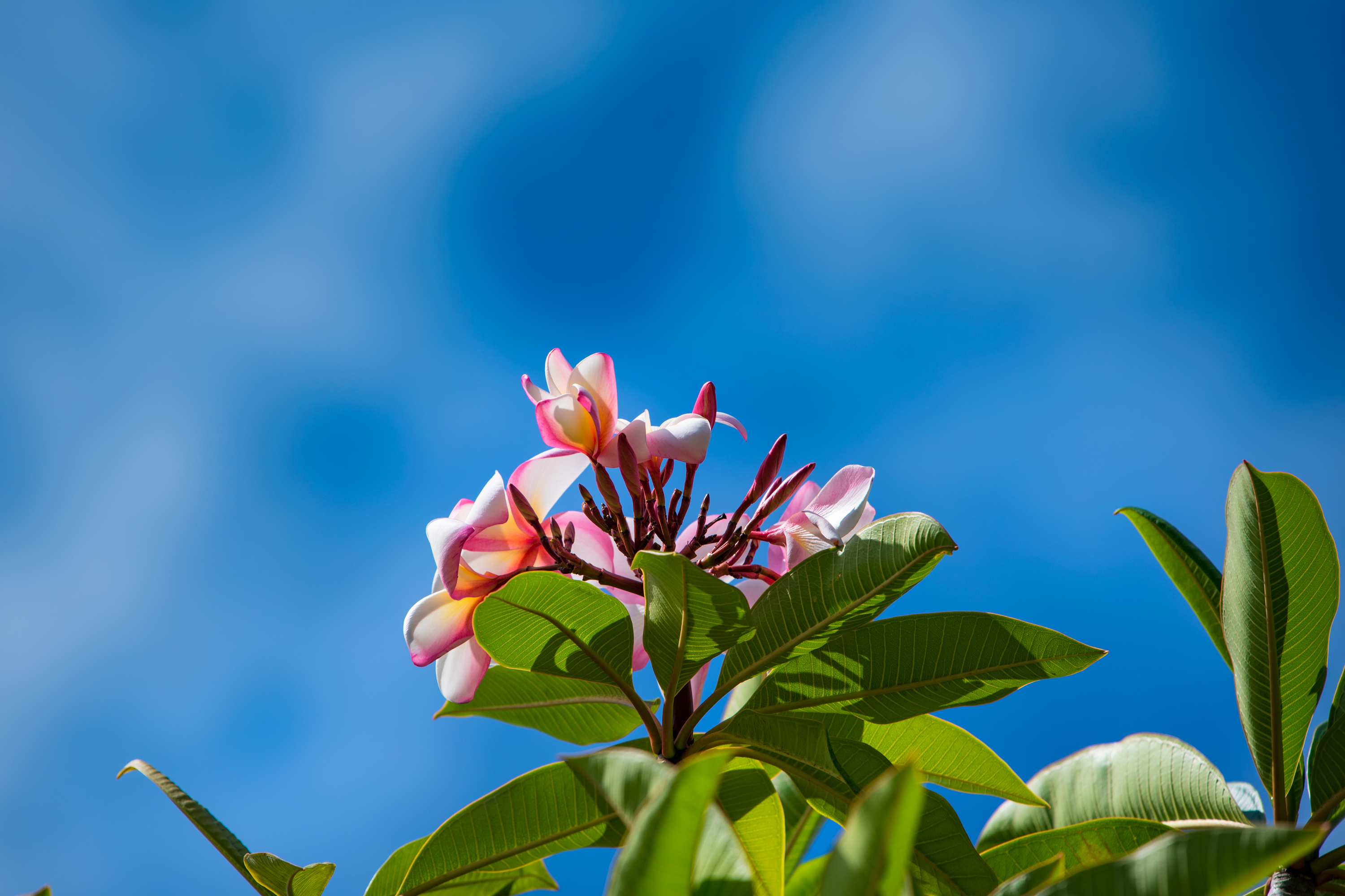 Pink and White Plumeria