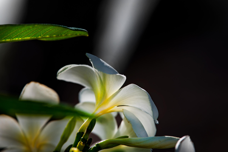 Morning Plumeria