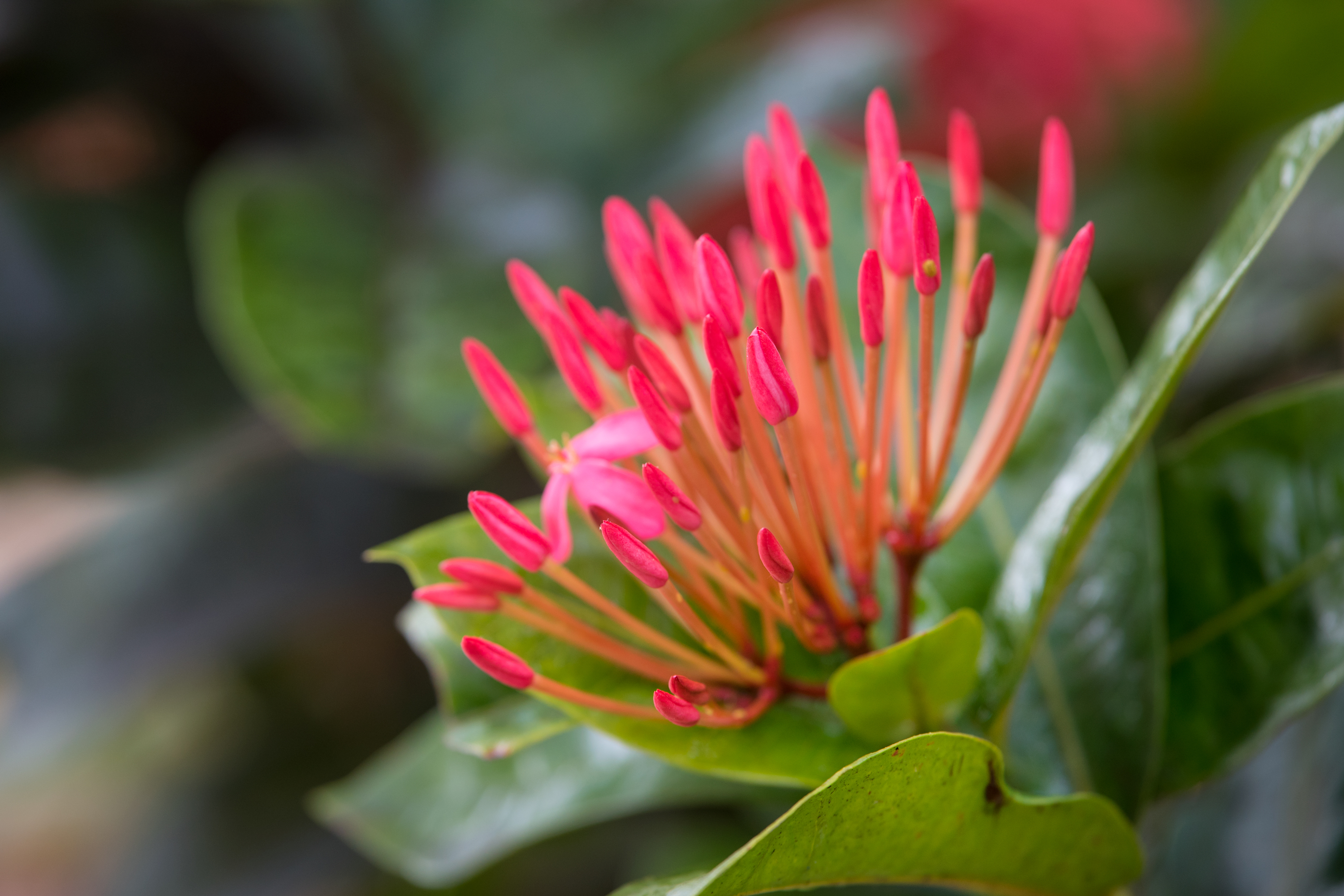 Ixora's Budding Beauty
