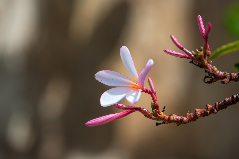Singapore Pink Plumeria