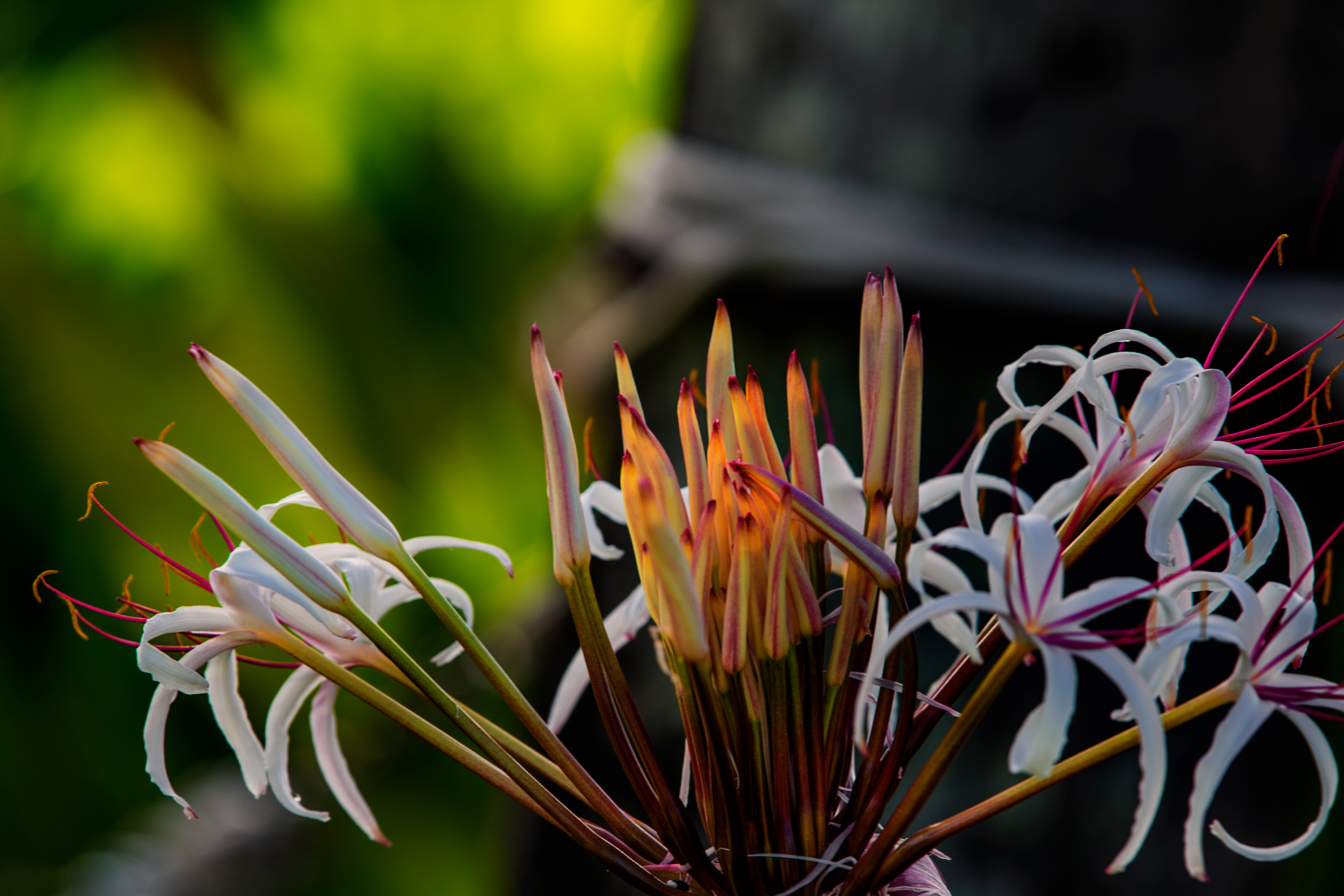 Morning Spider Lily