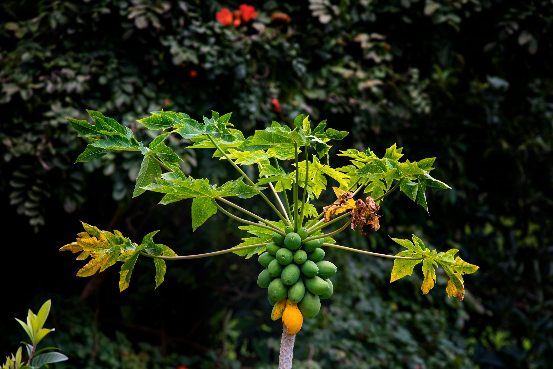Wild Papaya