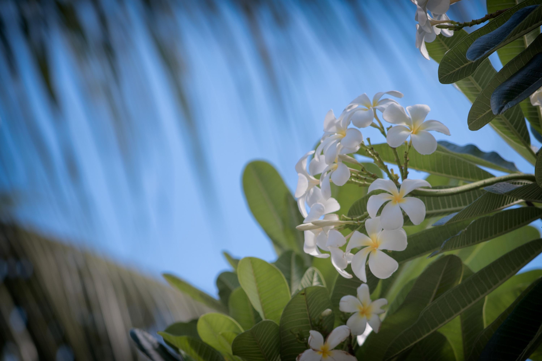 Pale White Plumeria