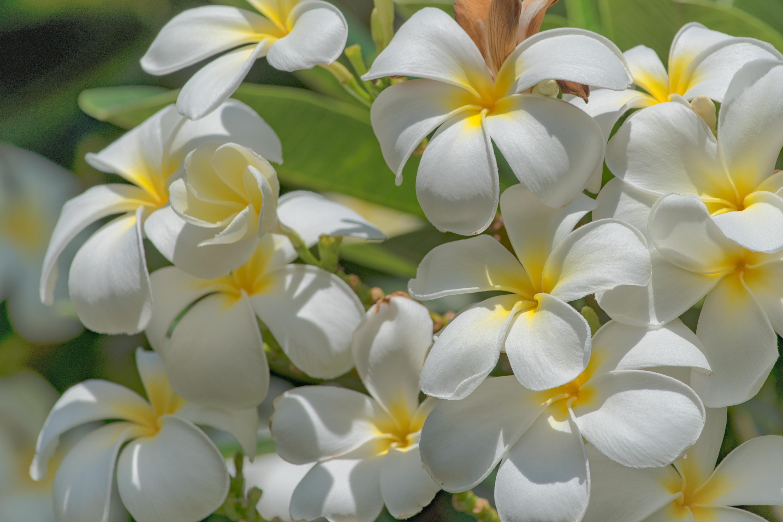 Bright Plumeria