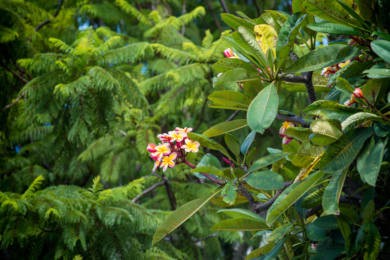 Wild Plumeria Tree